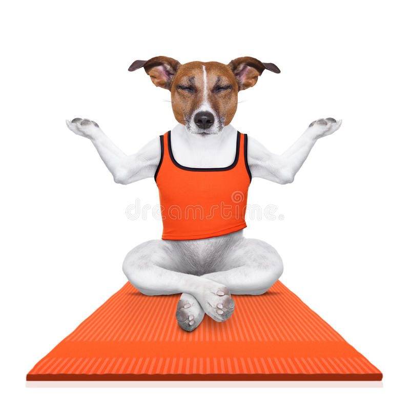 Personal yoga trainer dog stock image