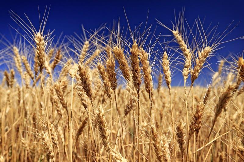 Personaler av korn i ett vetefält arkivbilder