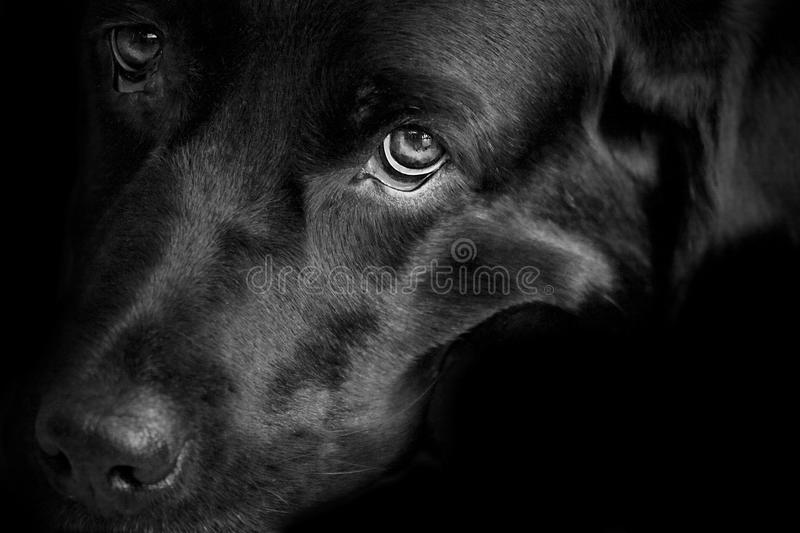 Personality of a black lab royalty free stock images