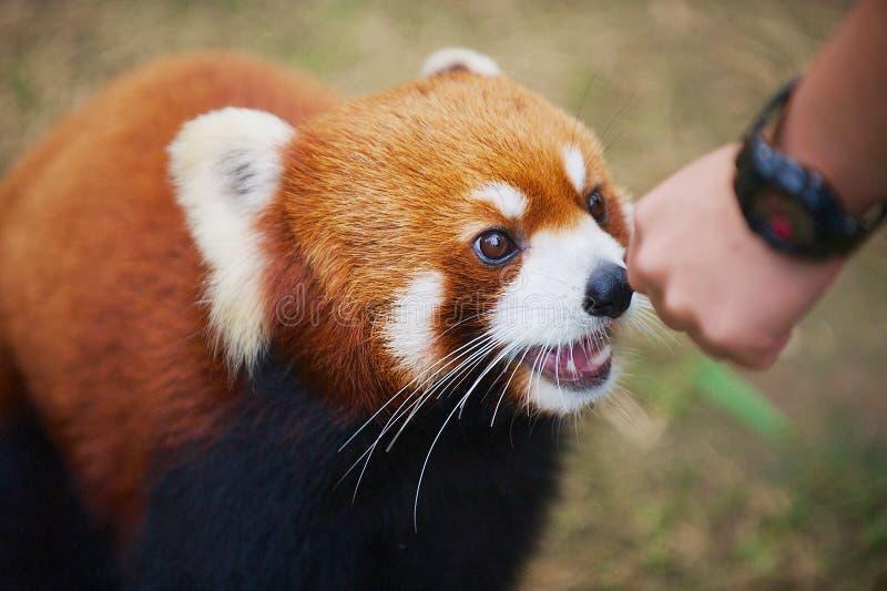 Personen matar den röda pandan i en zoo i havet parkerar i Hong Kong, Kina fotografering för bildbyråer