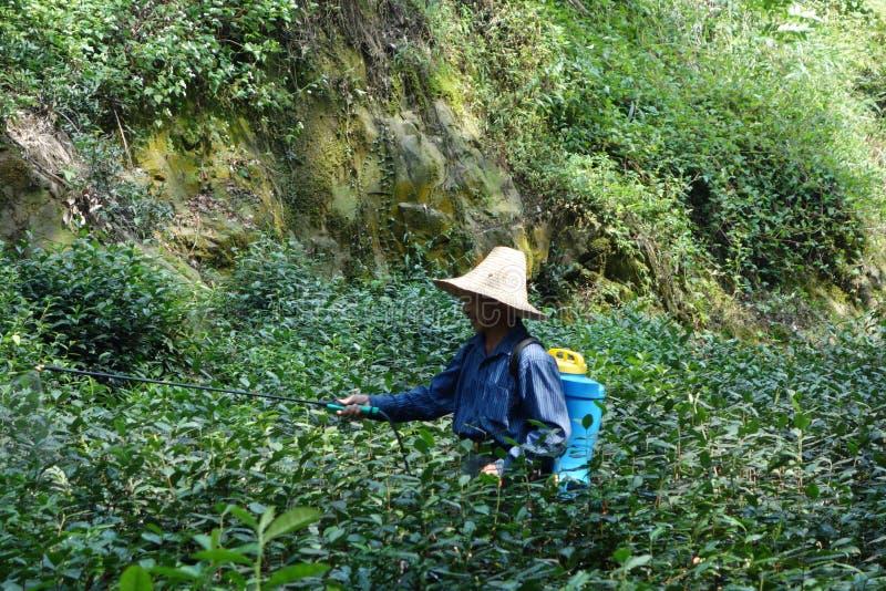 Personne utilisant un chapeau marchant par des champs de thé et pulvérisant des engrais à Hangzhou, Chine photographie stock libre de droits