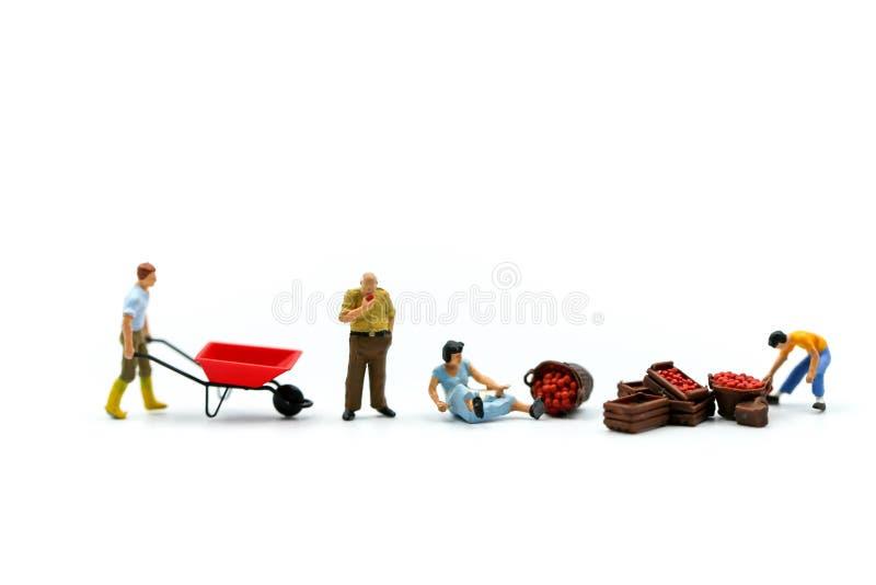 Personnes miniatures : travailleur avec la pomme du marché employant pour le concept de images stock