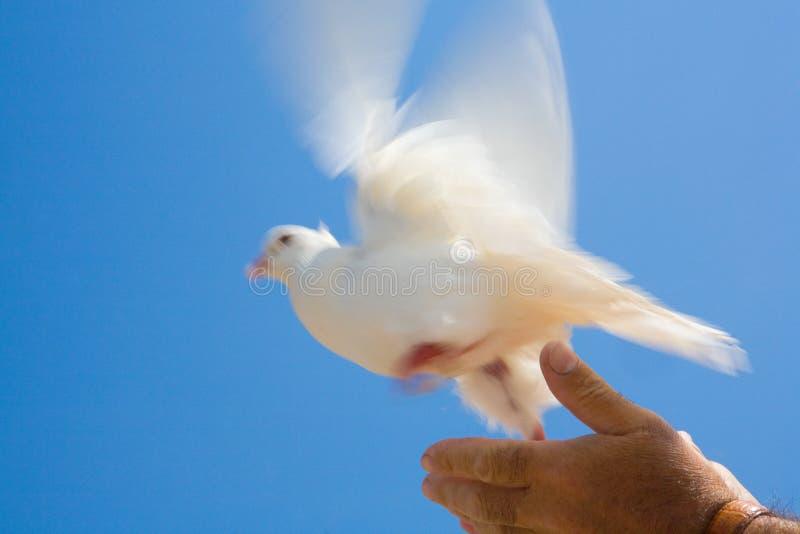 Persoon die duif vrijgeeft stock foto's