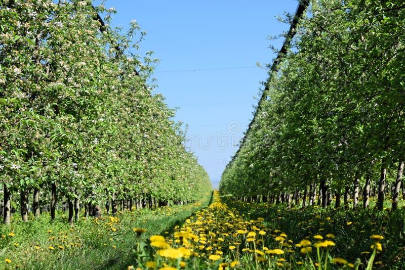 Perspectief van gele paardebloemen in een appelboomgaard stock foto's