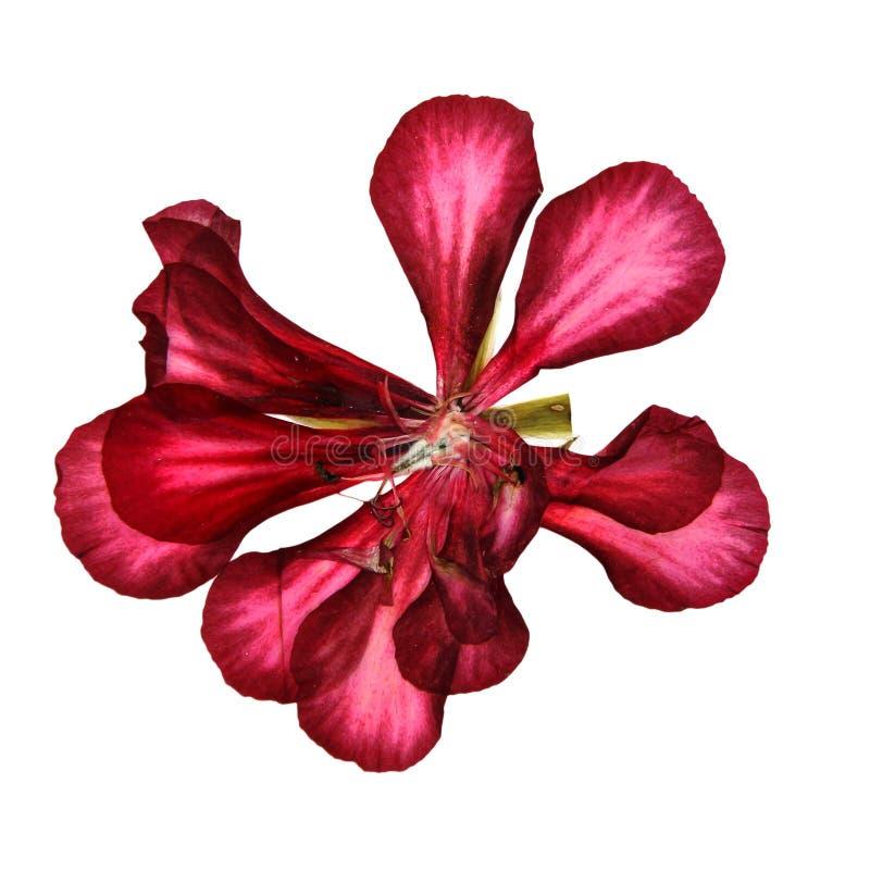 A perspectiva decorativa vermelha do gerânio de Terry, seca delicado pressionado fotografia de stock royalty free