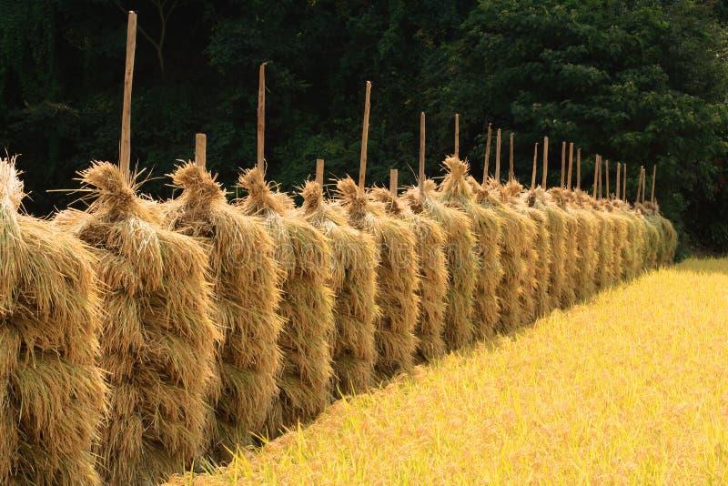 Perspectiva do campo do arroz do outono fotografia de stock