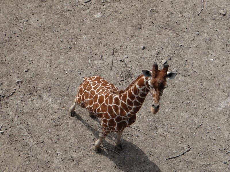 Perspectiva do girafa imagens de stock