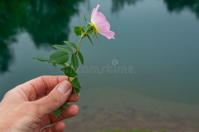 Perspectiva personal de la mano de la mujer que sostiene una flor salvaje imagen de archivo