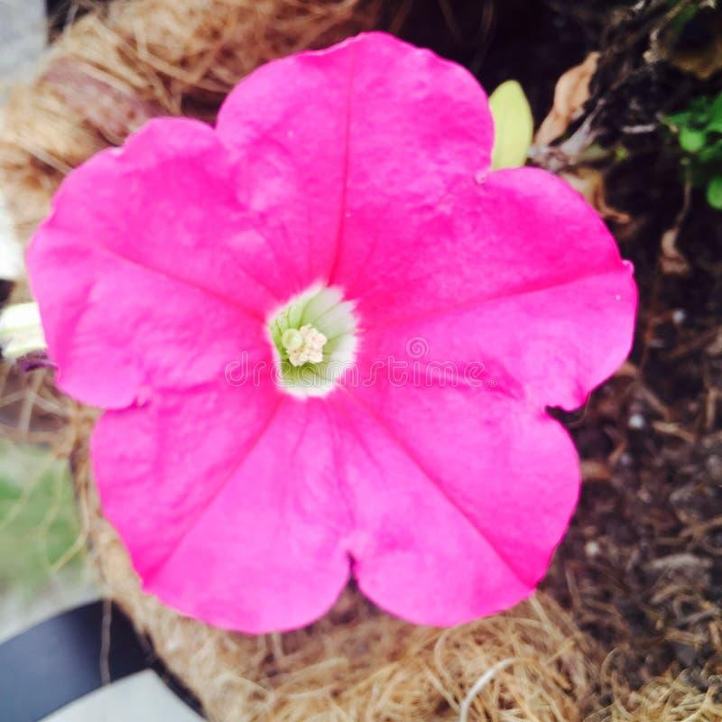 Perspectiva que brilla intensamente de la flor rosada fotos de archivo