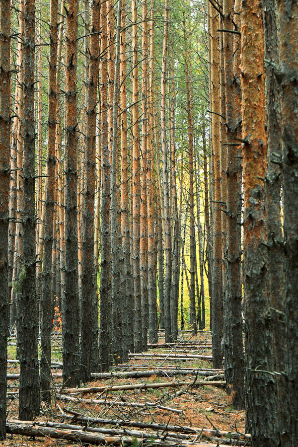 Perspective alley vertical trunks of pine trees in forest stock photography
