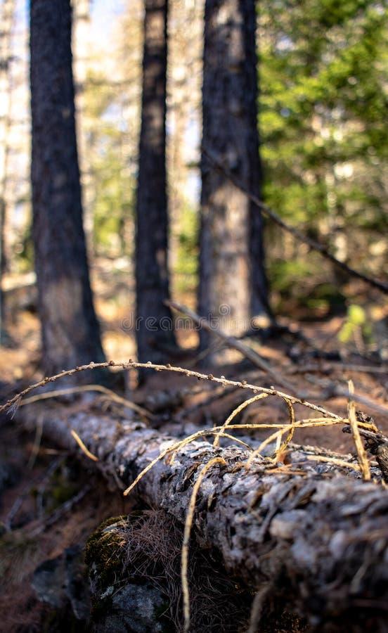 Perspective des arbres dans la forêt photographie stock libre de droits