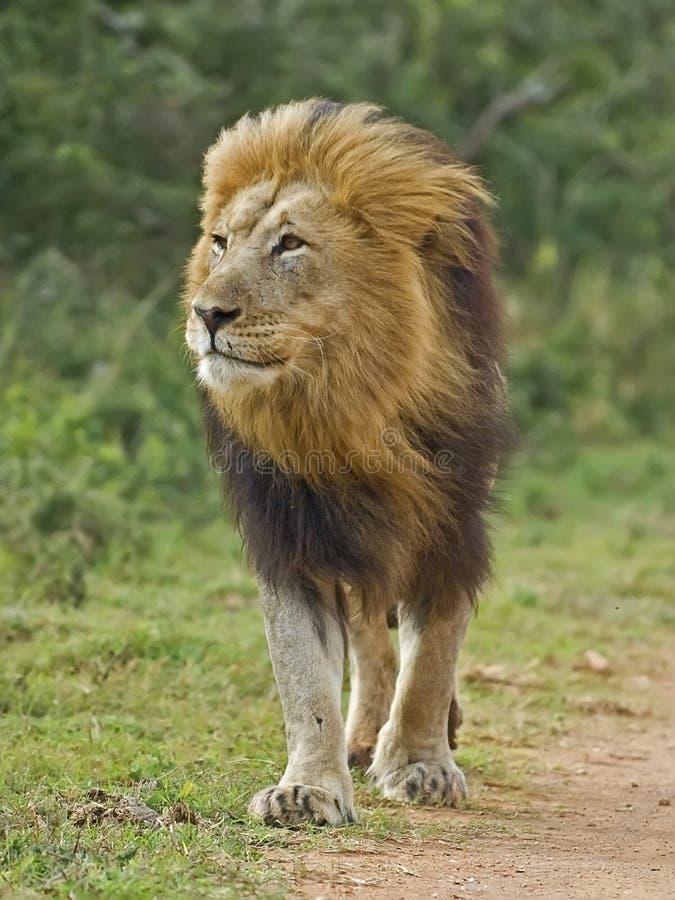 Perspective du lion photographie stock libre de droits
