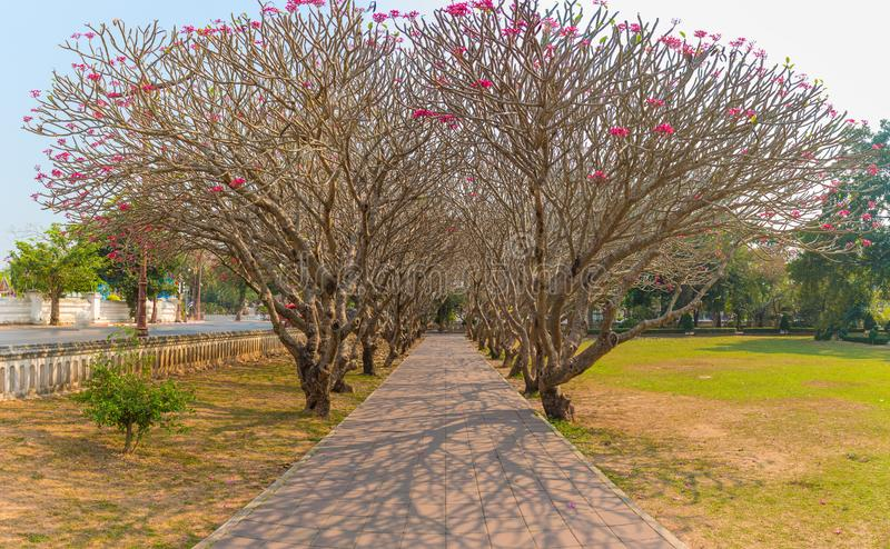 Perspective image of Plumeria trees tunnel. Perspective image of Plumeria or Temple tree tunnel .This place is the landmark of Nan province, Thailand stock images