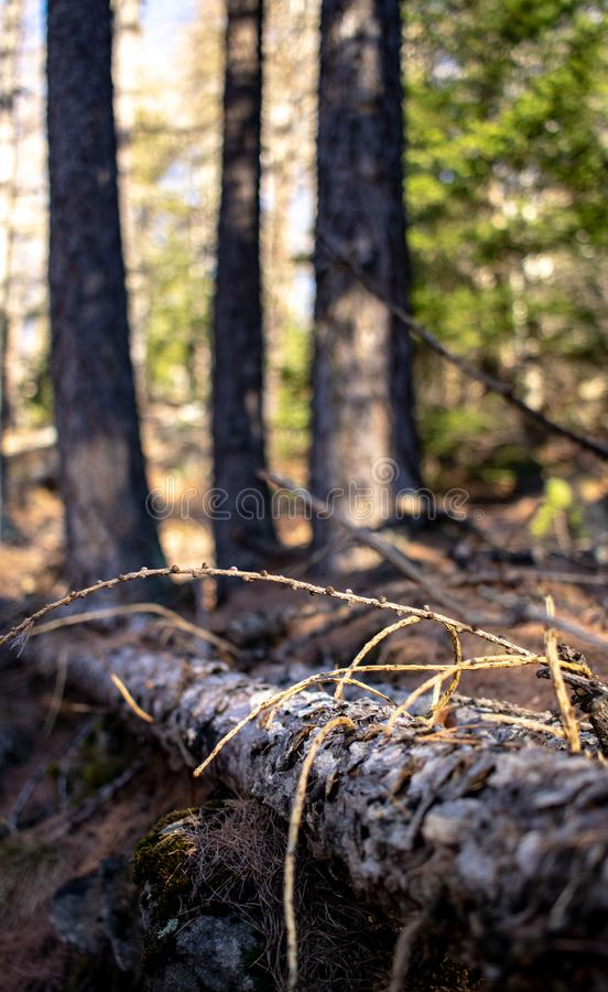 Perspective of trees in forest royalty free stock photography