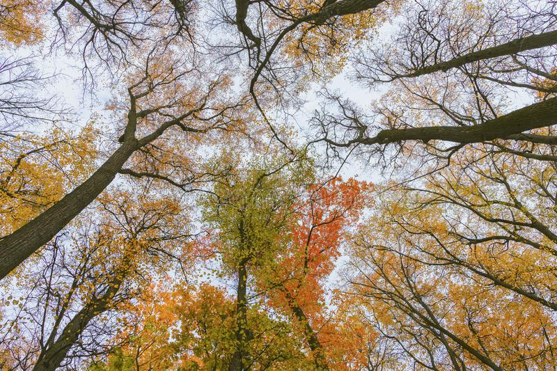 Perspective view of autumn bright colorful trees, bottom up view. Autumn forest. Blue sky and bright sun through the. Branches of trees, scenic landscape royalty free stock photo