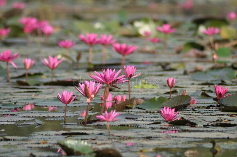 Perspective view of pink water lilies stock photo