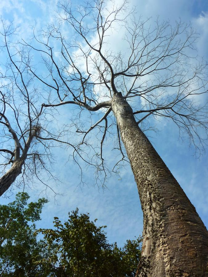 Free Perspective View Of Big Tree In Cambodia Royalty Free Stock Photos - 50441028