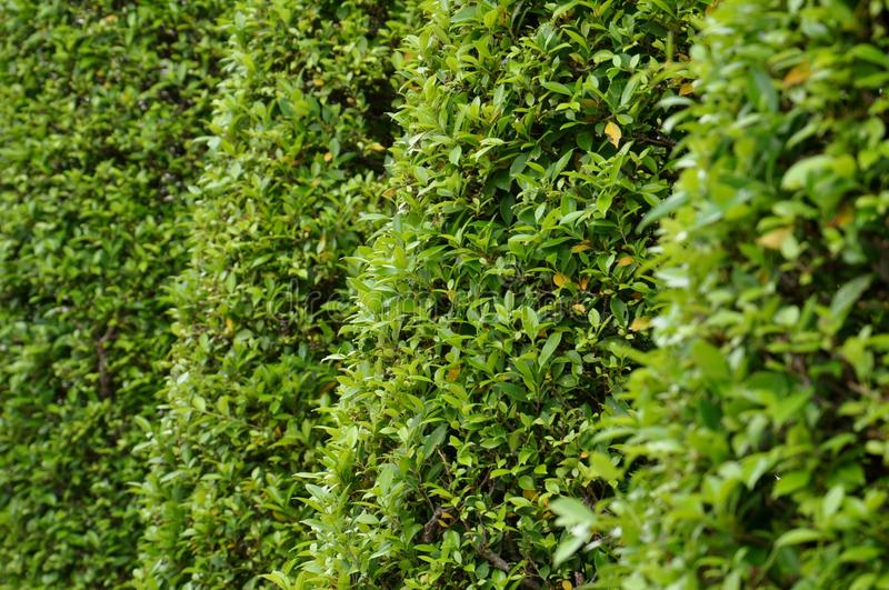Perspective view of privet trees stock photography
