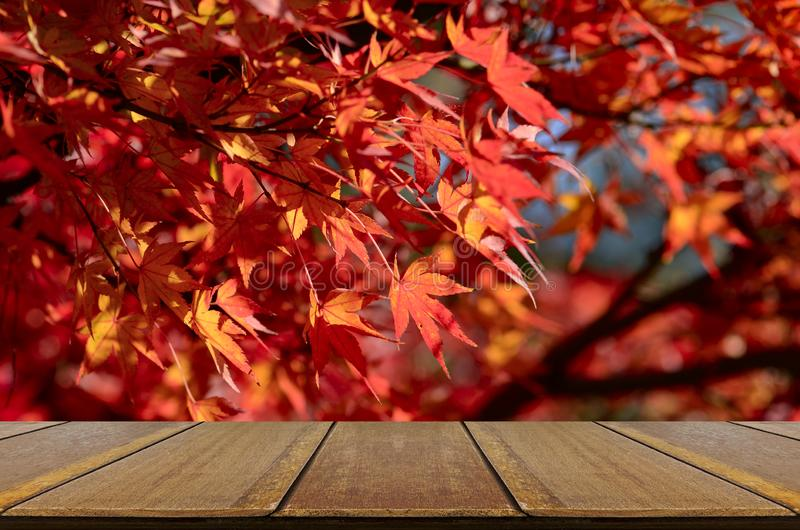 Perspective wood counter with red maple background. stock image