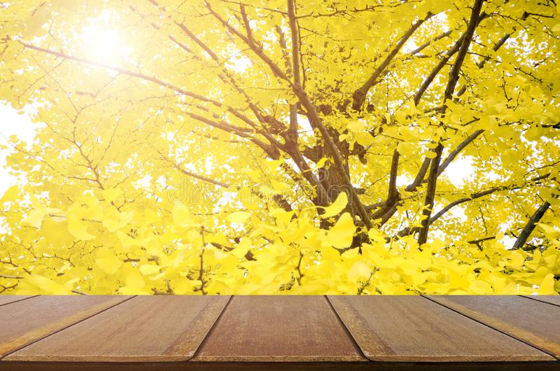 Perspective wood table and fully yellow of Ginkgo. stock photo
