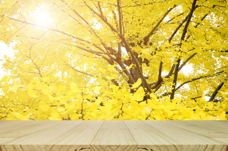Perspective wood table and fully yellow of Ginkgo autumn leaves w stock images