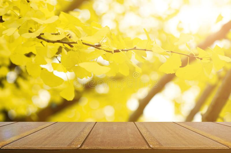 Fully yellow of Ginkgo autumn leaves. royalty free stock photography