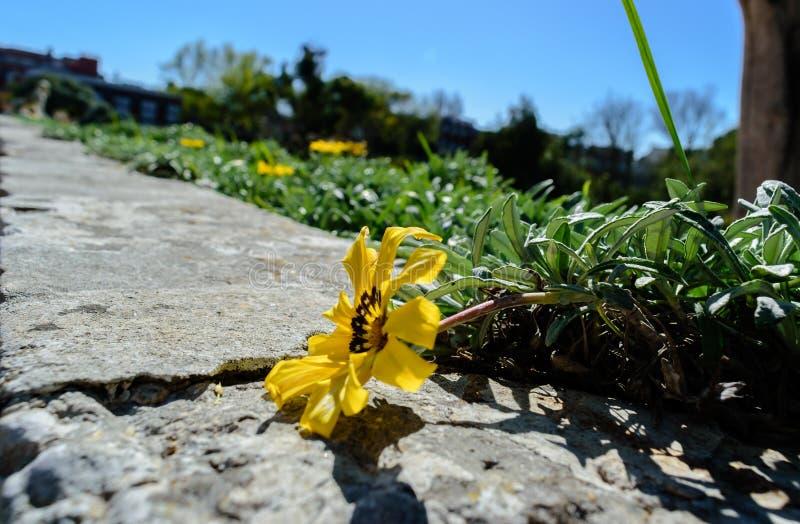 Perspective of yellow spring flower of garden Gazania Colorado Gold - Gazania linearis. Gazania Colorado Gold - Gazania linearis royalty free stock photo