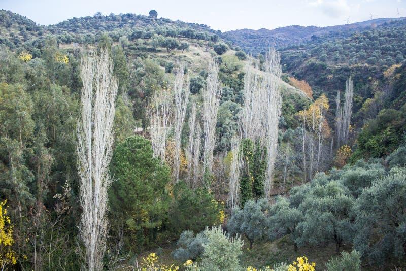 Perspektywa strzelająca topolowy drzewo na dolinie obraz stock