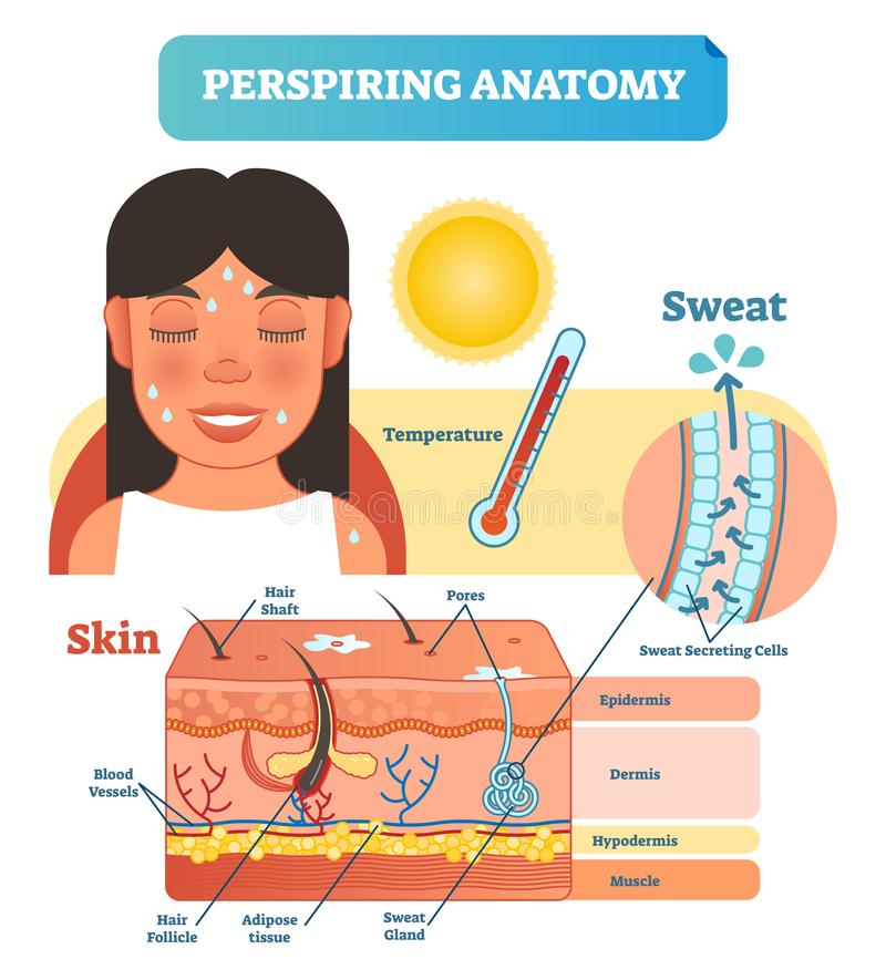 Perspiring Anatomical Skin Cross Section Vector Illustration Diagram with Sweat Secreting Cells. vector illustration