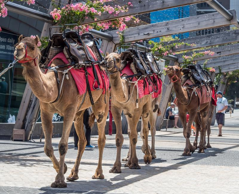 Camel rides in the centre of Perth WA royalty free stock images