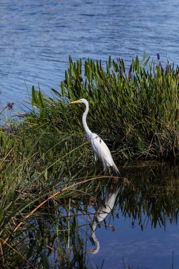 Pertiche alba della grande dell'egretta ardea adulta dell'uccello fra erba fotografia stock