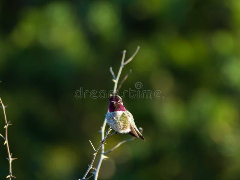 Pertiche del colibrì in cima al piccolo ramo fotografia stock