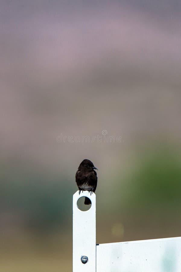 Pertiche nere di Phoebe su una paratoia nella riserva di Bosque del Apache National nel New Mexico fotografia stock