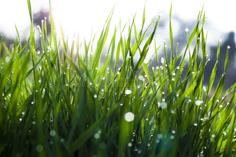 Perto acima, macro de gotas de orvalho nas lâminas da grama fresca, raios da manhã do sol, economia da água e conceito verde, pla fotografia de stock royalty free