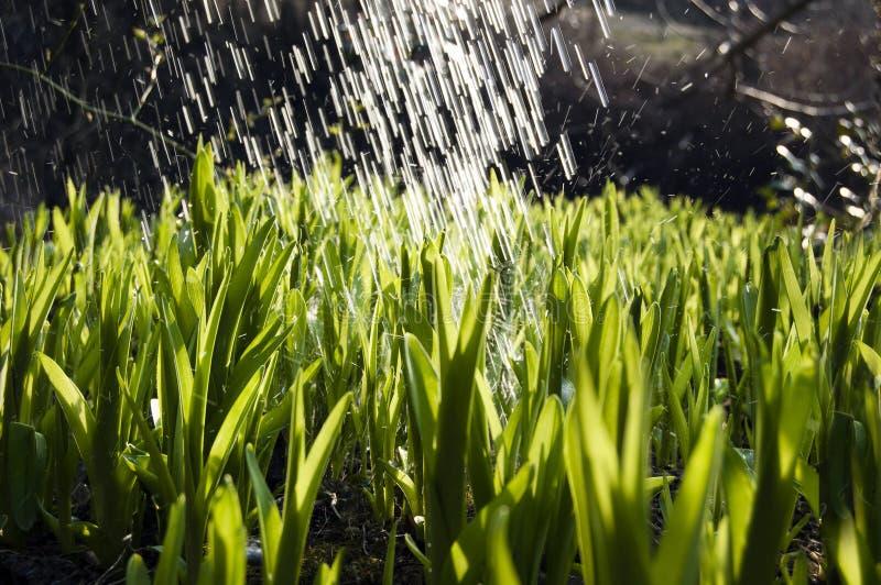 Perto acima, macro de gotas de orvalho nas lâminas da grama fresca, raios da manhã do sol, economia da água e conceito verde, pla imagem de stock