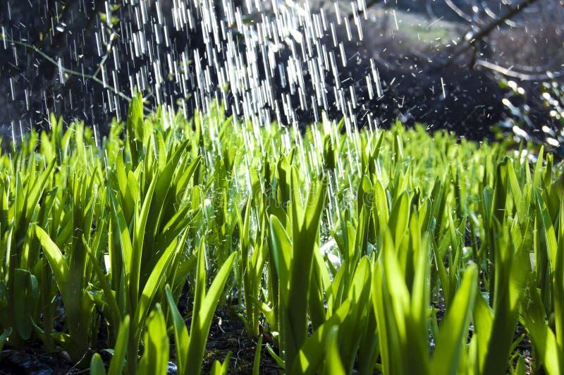 Perto acima, macro de gotas de orvalho nas lâminas da grama fresca, raios da manhã do sol, economia da água e conceito verde, pla foto de stock royalty free