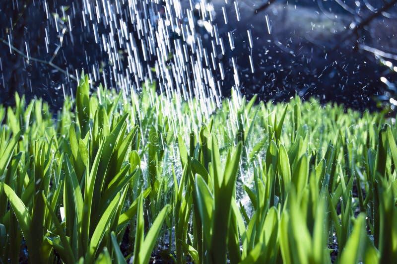 Perto acima, macro de gotas de orvalho nas lâminas da grama fresca, raios da manhã do sol, economia da água e conceito verde, pla imagem de stock royalty free