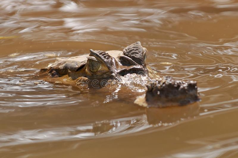 Peru, Amazon Rainforest, the Spectacled White or Common caiman, Caiman crocodilus royalty free stock image