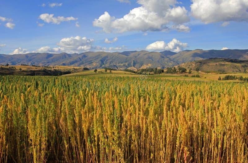 Peru andino das montanhas do campo vermelho do quinoa fotografia de stock royalty free