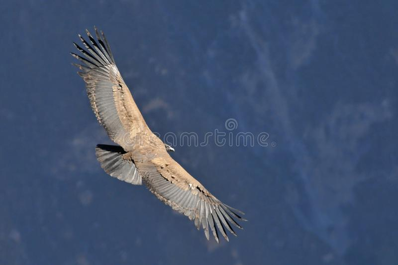 Peru Arequipa, barranco de Colca, cóndor andino, gryphus del Vultur fotos de archivo libres de regalías