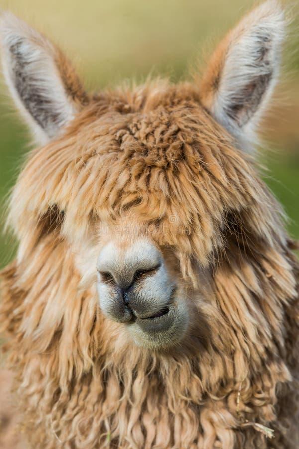 Peru peruano de Andes Cuzco do retrato da alpaca imagem de stock