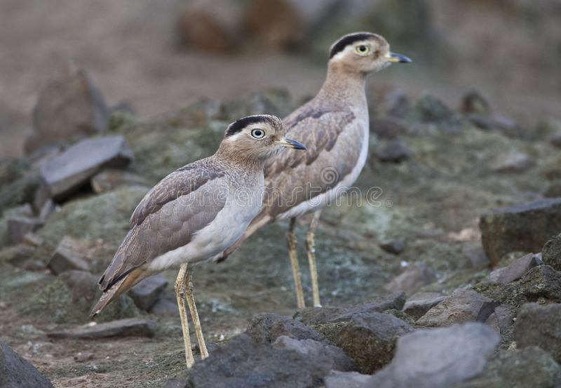 Peruaanse Griel,秘鲁厚实膝盖, Burhinus superciliaris 库存图片