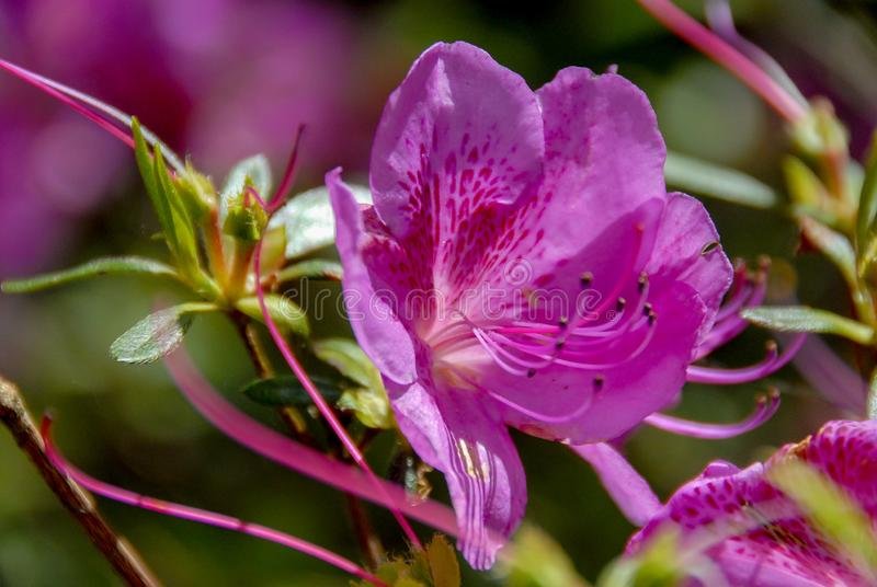 Peruanische Lilie Phoenicia-Azaleenblume stockbild