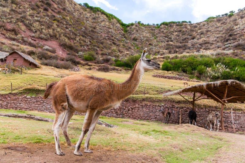 Peruanisches Lama. Bauernhof des Lamas, Alpaka, Vicunja in Peru, Südamerika. Andentier. lizenzfreie stockfotografie