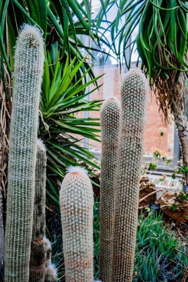 Peruansk gamal mancactaceae espostoalanata att växa i paviljong av botaniska trädgården arkivfoto
