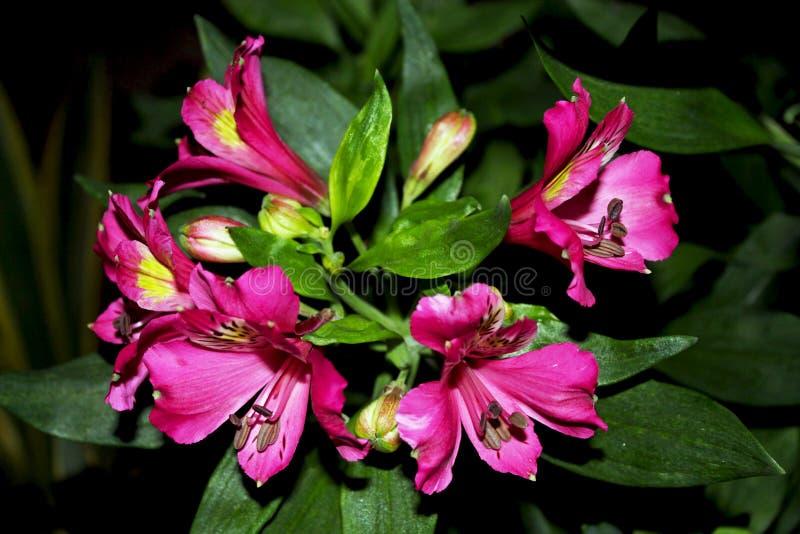 Peruansk lilja, Inca Joli, Alstroemeria arkivfoton