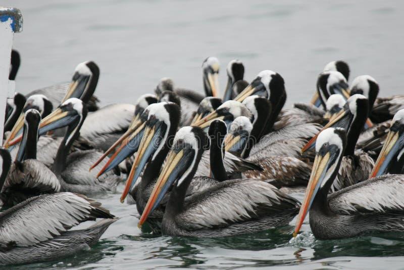 Peruansk pelikan som matar i grupp fotografering för bildbyråer