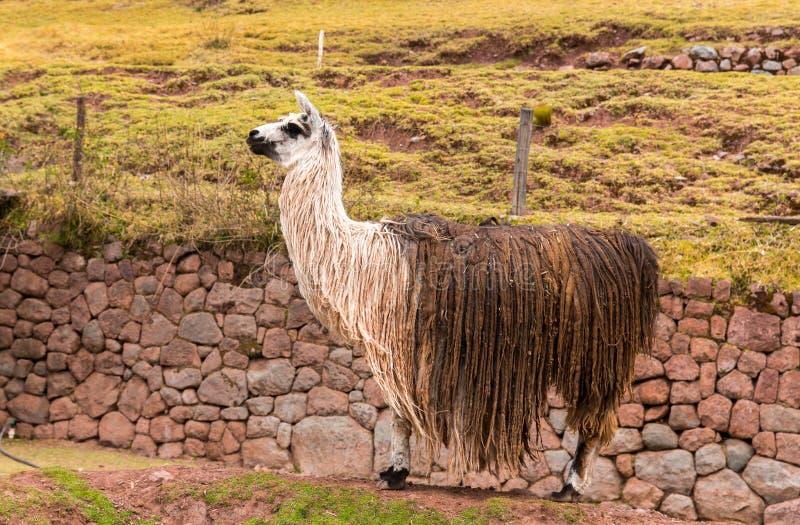 Peruansk vikunjaull. Lantgård av laman, alpaca, vikunjaull i Peru, Sydamerika. Andean djur. arkivfoto