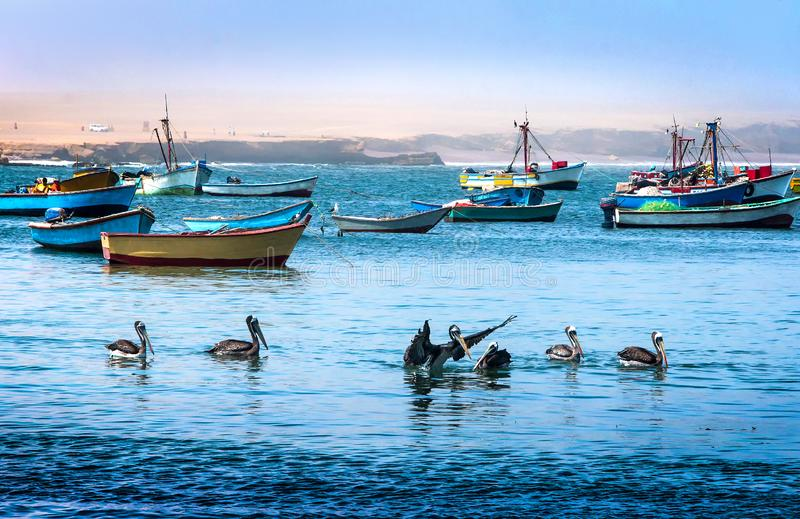 Peruanska pelikan som matar i Stilla havet arkivbilder