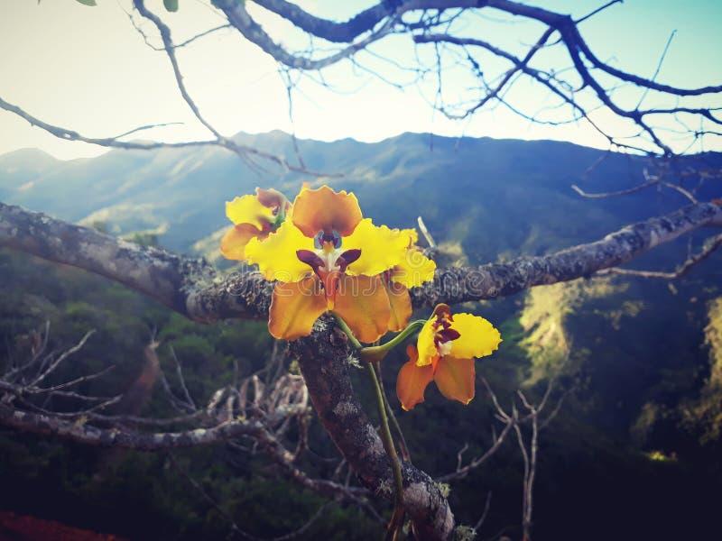 peruavian Orchidee stockfoto